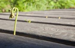 Common bracken sprout Stock Photo