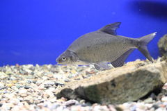 Common bream. Floating in water Stock Photo