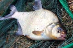 Common bream (Abramis brama) Royalty Free Stock Photo