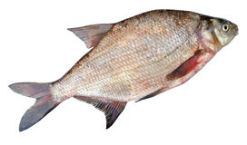 Common bream ( Abramis brama ) Royalty Free Stock Photo