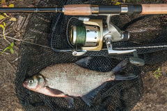 Common bream fish on the natural background. Catching freshwater Royalty Free Stock Images