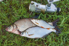 Common bream fish and silver bream or white bream fish, roach fi Stock Images
