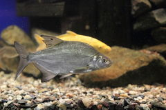 Common bream Royalty Free Stock Photos