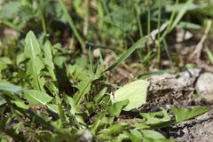 Common brimstone Royalty Free Stock Photo