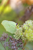 Common Brimstone Stock Photos