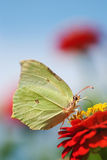 Common brimstone Stock Images