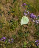 Common Brimstone on Alfalfa plant flowers Stock Image