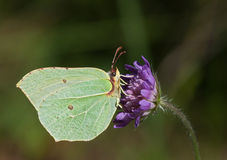 Common Brimstone on blue Knautia flower Royalty Free Stock Photo