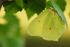 Common brimstone butterfly. Camouflaging in Birch tree Stock Photo
