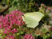 Common brimstone butterfly. Drinking nectar Royalty Free Stock Photography