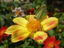 Common brimstone butterfly. Drinking nectar on yellow lily Royalty Free Stock Photo