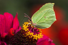 Common brimstone. Butterfly common brimstone on the flower. Macro photography of nature Stock Photo