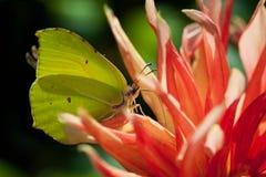 Common brimstone butterfly Gonepteryx rhamni Stock Photos
