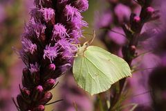 Common brimstone butterfly Stock Photo