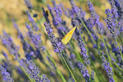 Common brimstone butterfly on Lavender Royalty Free Stock Image