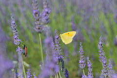 Common brimstone butterfly on Lavender Royalty Free Stock Photography