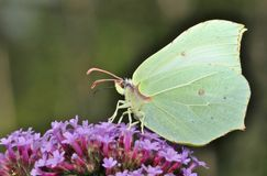 Common Brimstone Butterfly Seeking For Nectar On A Buddleia Pink Flower stock photography