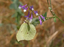 Common brimstone butterfly Stock Photos