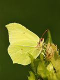 Common Brimstone (Gonepteryx rhamni), (11), sucking nectar from a. Common Brimstone (Gonepteryx rhamni), sucking nectar from a thistle blossom with a green Stock Photography