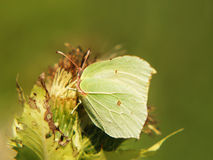 Common Brimstone (Gonepteryx rhamni),  13, sucking nectar from a. A butterfly Common Brimstone (Gonepteryx rhamni),  is sucking nectar from a thistle blossom Stock Photo