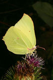 Common Brimstone (Gonepteryx rhamni) Stock Image