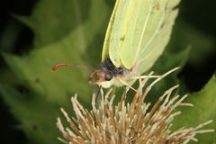 Common Brimstone (Gonepteryx rhamni) Royalty Free Stock Photos
