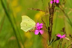 Common Brimstone Gonepteryx rhamni, butterfly drinking nectar from flowers carnation, as background Royalty Free Stock Photos