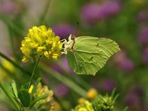 Common Brimstone Gonepteryx rhamni, butterfly drinking nectar from the yellow flowers Royalty Free Stock Photos