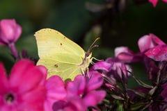 Common brimstone. (Gonepteryx rhamni) butterfly feeding on garden flowers royalty free stock photos
