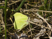 Common Brimstone, Gonepteryx rhamni, butterfly hiding in dry grass macro, shallow DOF, selective focus Stock Photos