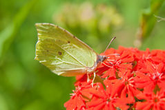 Common brimstone (Gonepteryx rhamni) on the flower Lychnis chalcedonica Stock Images