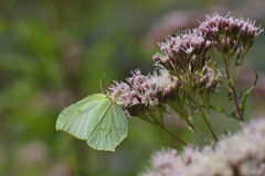 Common brimstone Royalty Free Stock Photos