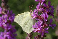 Common Brimstone (Gonepteryx rhamni) Royalty Free Stock Images