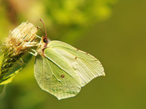 Common brimstone (gonepteryx rhamni), (12) Royalty Free Stock Photo