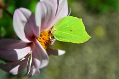Common Brimstone Royalty Free Stock Photography