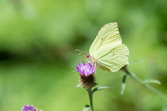Common brimstone on purple thistle Royalty Free Stock Photo