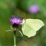 Common brimstone on purple thistle Royalty Free Stock Images