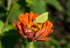 Common brimstone sitting on a zinnia elegans Royalty Free Stock Photos