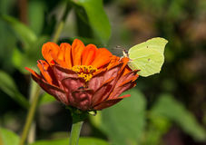 Common brimstone sitting on a zinnia Stock Photos