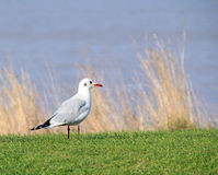 Common british tern gull Stock Images