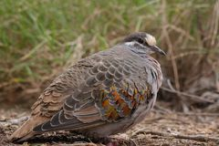 Common bronzewing Royalty Free Stock Photography