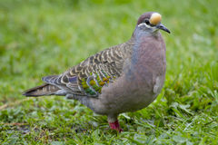 Common Bronzewing (Phaps Chalcoptera) Stock Images