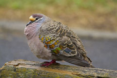 Common Bronzewing (Phaps Chalcoptera) Royalty Free Stock Image