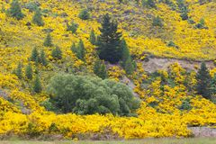 Yellow flowers. Common broom in bloom on the South Island of New Zealand royalty free stock photography