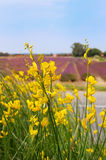 Common Broom in France Royalty Free Stock Photo