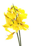 Common broom Royalty Free Stock Photo