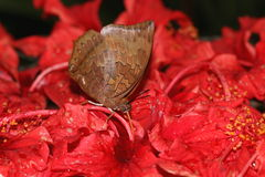 Common brown butterfly sucking on nectar from hibiscus flowers. Royalty Free Stock Images
