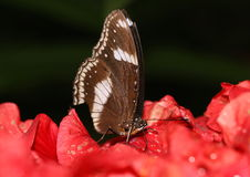 Common brown butterfly sucking on nectar from hisbicus flower. Common brown butterfly sucking on the nectar from the hibiscus with its proboscis Stock Photo