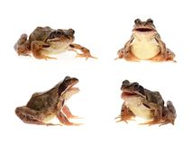 Common brown frog Stock Photos