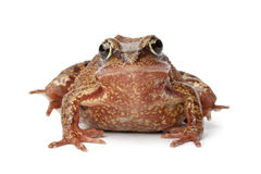 Common brown frog Royalty Free Stock Photography